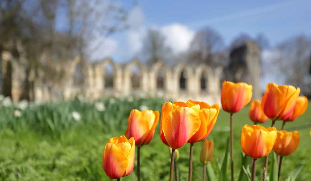 Tulips With St Mary's Abbey In Background York