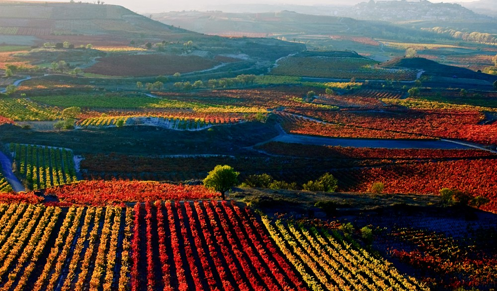 Vineyards in autumn in La Rioja, Spain.